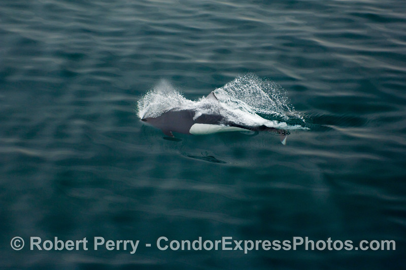 """Image 1 of 2 A speeding bullet Dall's Porpoise (Phocoenoides dalli) exhales and inhales """"on the go"""" as it pops through the surface for only a few milliseconds."""