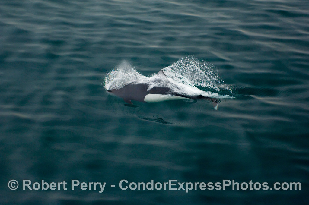 "Image 1 of 2 A speeding bullet Dall's Porpoise (Phocoenoides dalli) exhales and inhales ""on the go"" as it pops through the surface for only a few milliseconds."