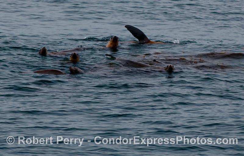 A small raft of California Sea Lions (Zalophus californianus) are always a barrel of laughs.