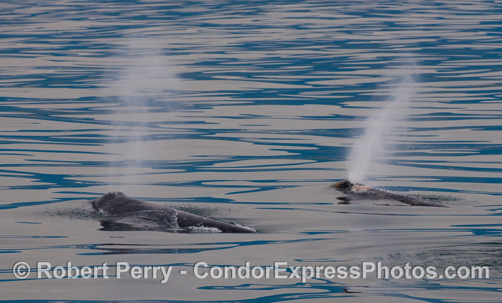 Two spouting Gray Whales (Eschrichtius robustus) side by side.