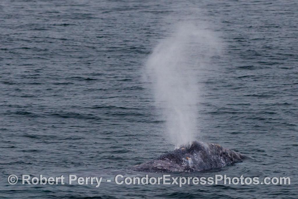 Gray Whale (Eschrichtius robustus) spout.