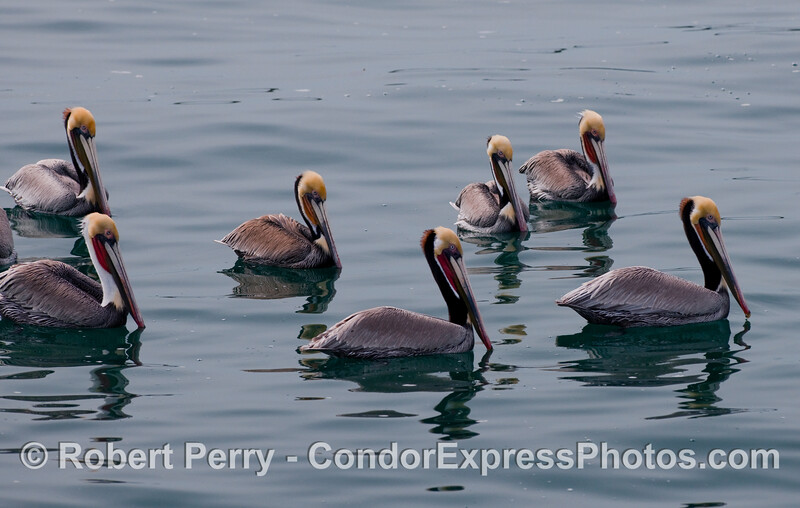 Brown pelicans swim on a glassy ocean.  (Pelecanus occidentalis),