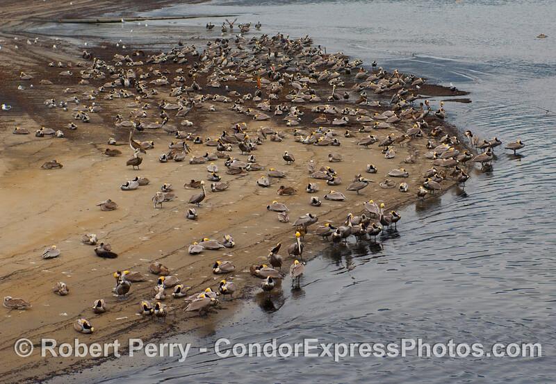 Brown pelicans (Pelecanus occidentalis) resting on the beach in Santa Barbara Harbor.