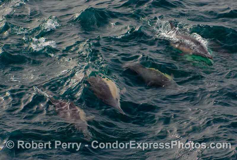 Four wave-riding common dolphins (Delphinus capensis)  One turns its head to look up, and the female dolphin at the top has a male underneath her.