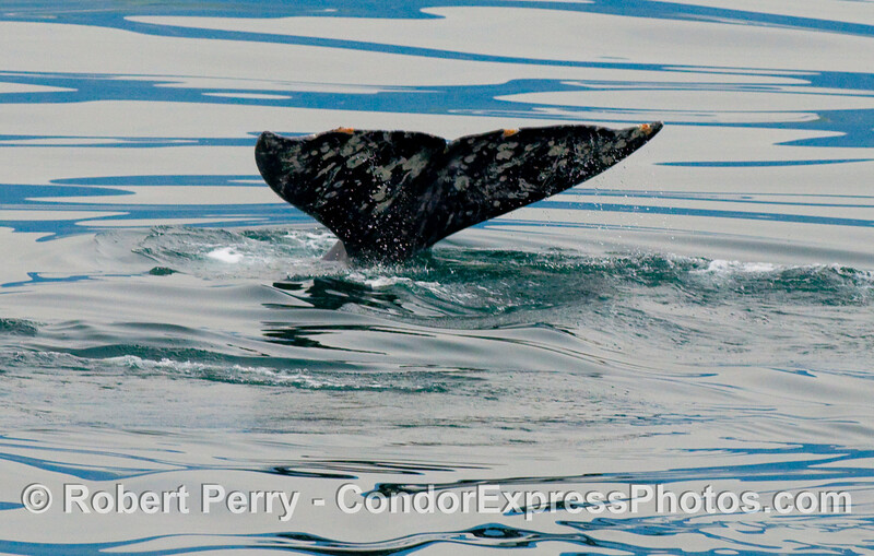 Tail of a Gray Whale (Eschrichtius robustus)...part 2 of 2.