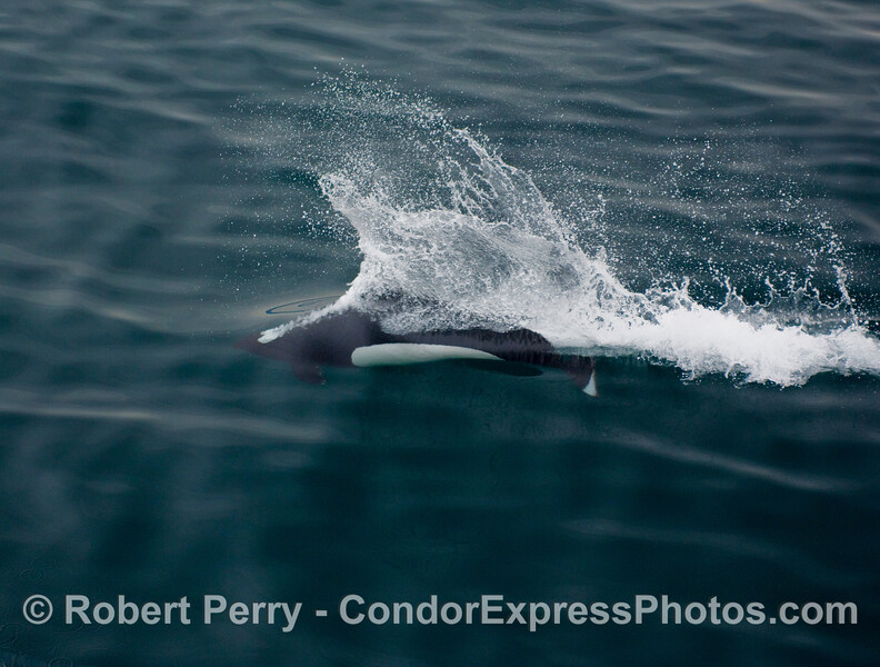 "Image 2 of 2: A speeding Dall's Porpoise (Phocoenoides dalli) creates its signature ""rooster tail."""