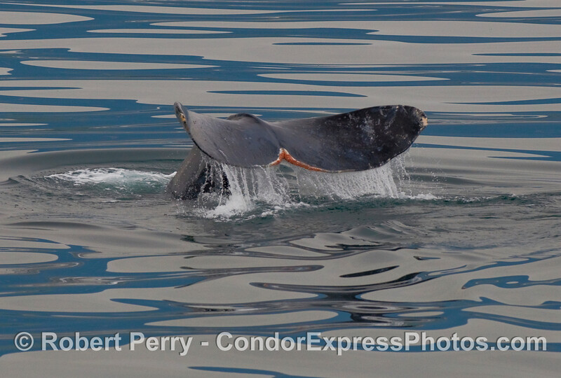 Tail of a Gray Whale (Eschrichtius robustus)...part 1 of 2.