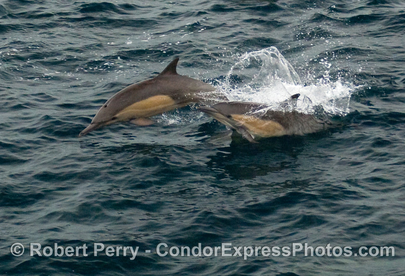 Two common dolphins (Delphinus capensis).
