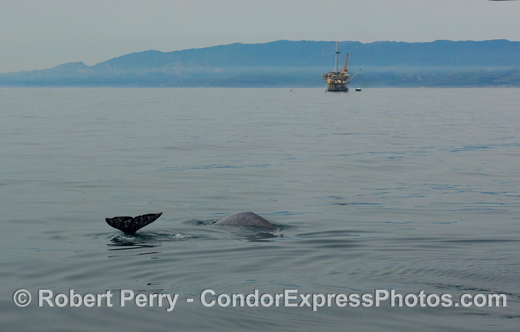 Two Gray Whales (Eschrichtius robustus) near oil platform Holly in the Santa Barbara Channel.