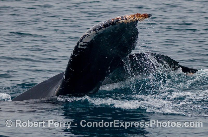 A tail fluke comes up from a Humpback Whale (Megaptera novaengliae)  as it leans to its right side and dives.