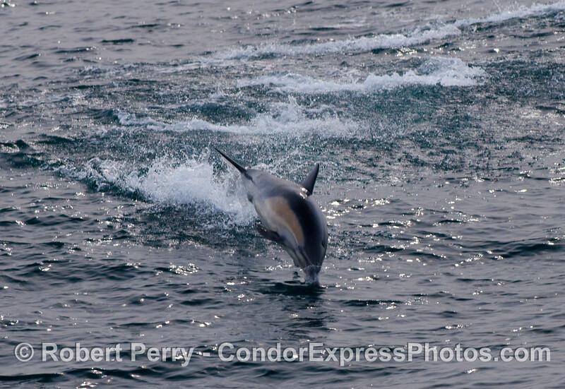 Leaping common dolphin (Delphinus capensis).