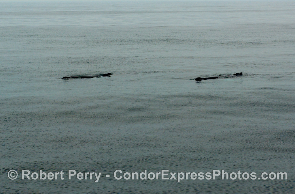"A couple of logs adrift in the channel?  It's actually two Humpback Whales (Megaptera novaengliae) moving so slowly at the surface the behavior is called ""logging."""