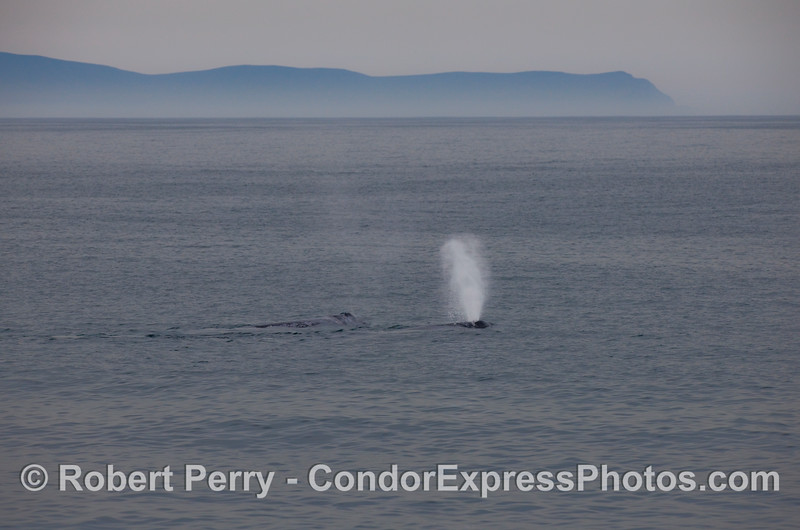 Two Gray Whales (Eschrichtius robustus) in the Santa Barbara Channel; the West End of Santa Cruz Island can be seen in the background.