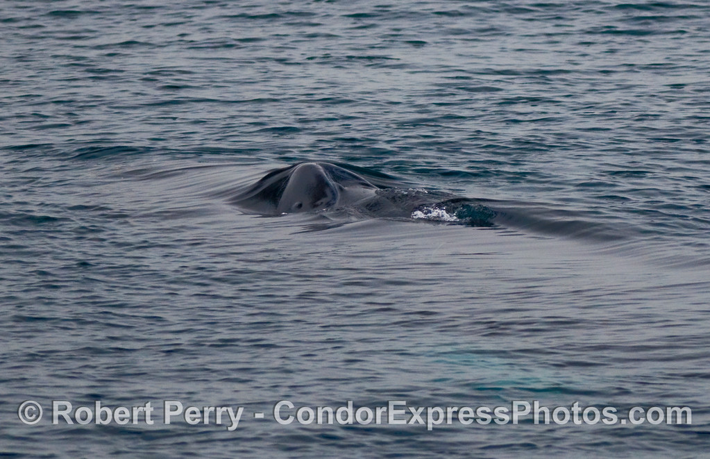 Only the nostrils or blowholes of this Humpback Whale (Megaptera novaengliae) can be seen above the ocean surface.  Note the sheen on the water and its patterns as this whale begins to surface and breathe.