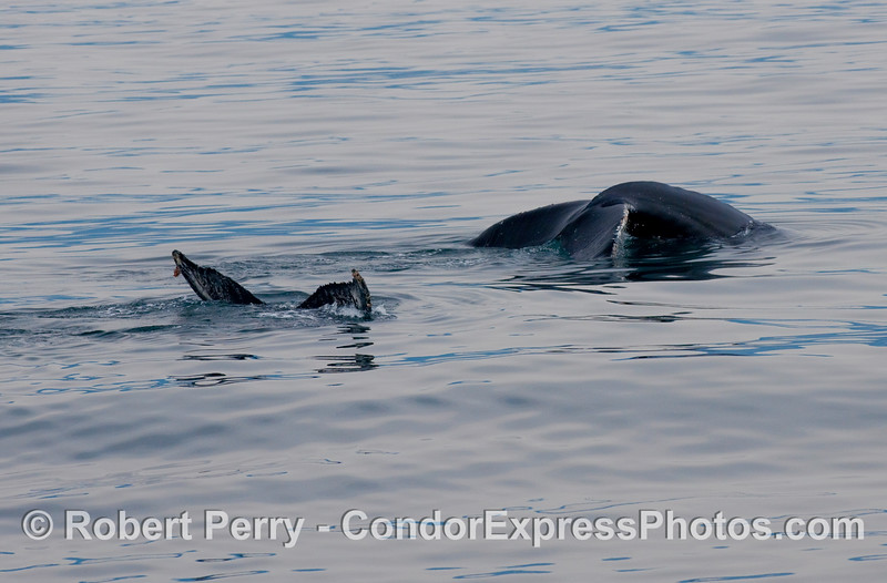 A tale of two tails:  Humpback Whales (Megaptera novaengliae)  dive in unison.