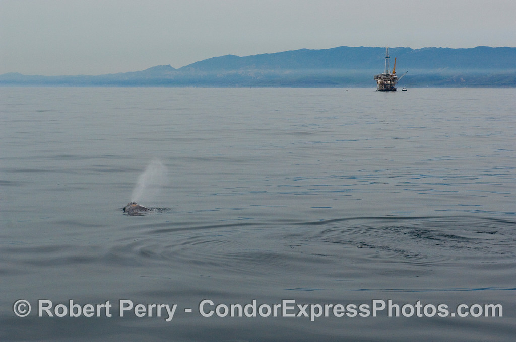 Northbound Gray Whale (Eschrichtius robustus) passes by oil platform Holly in the Santa Barbara Channel.