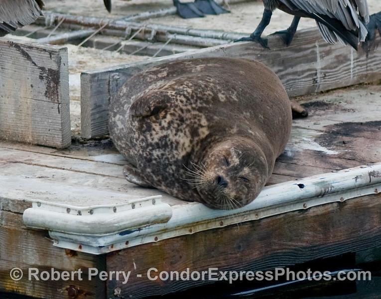 A chubby Harbor Seal (Phoca vitulina) rests on the edge of the bait barge inside Santa Barbara Harbor.