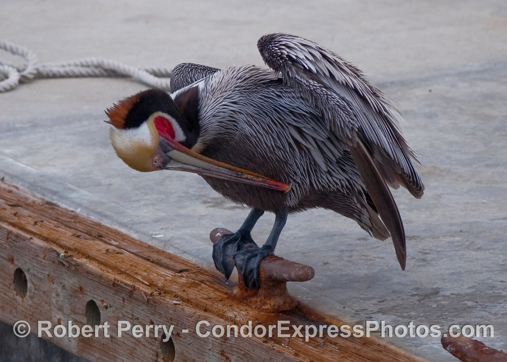 Brown pelican (Pelecanus occidentalis) in breeding colors, perches on a dock side cleat and preens.