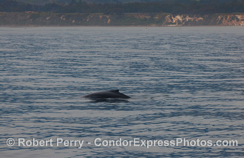 Humpback Whale off the coast of Goleta (Megaptera novaengliae);  this whale was so close to the beach that Dr. Michael Smith up on Coal Oil Point could see them as  he was conducting his annual census of the northbound Gray Whales.