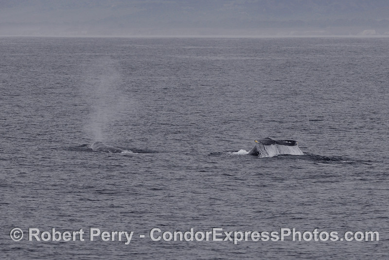 Gray Whales (Eschrichtius robustus) one spout, one tail.