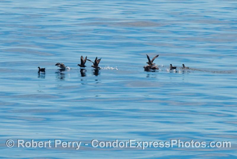 A small flock of Northern Fulmars (Fulmaris glacialis) take flight.