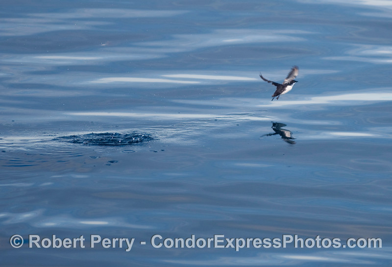 A Xantus's Murrelet (Synthliboramphus hypoleucus) takes flight on a glassy ocean surface.