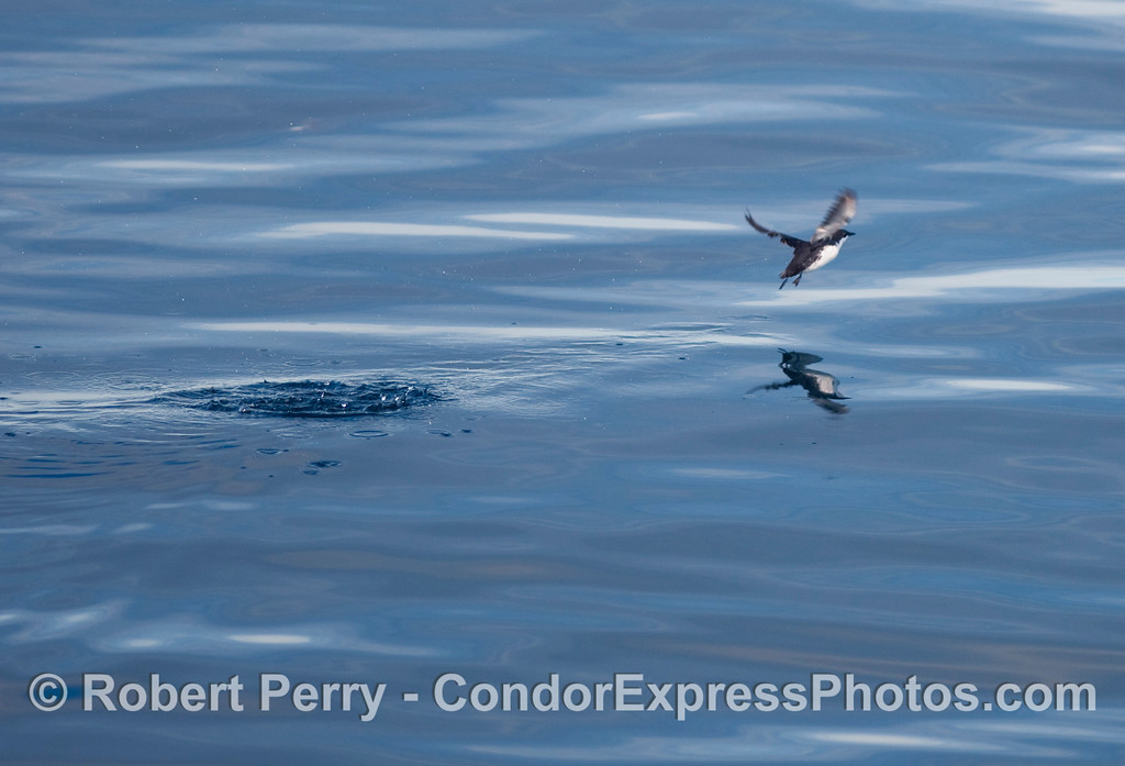 A Xantus's Murrelet (Synthliboramphus hypoleucus) takes flight on a glassy ocean surface.