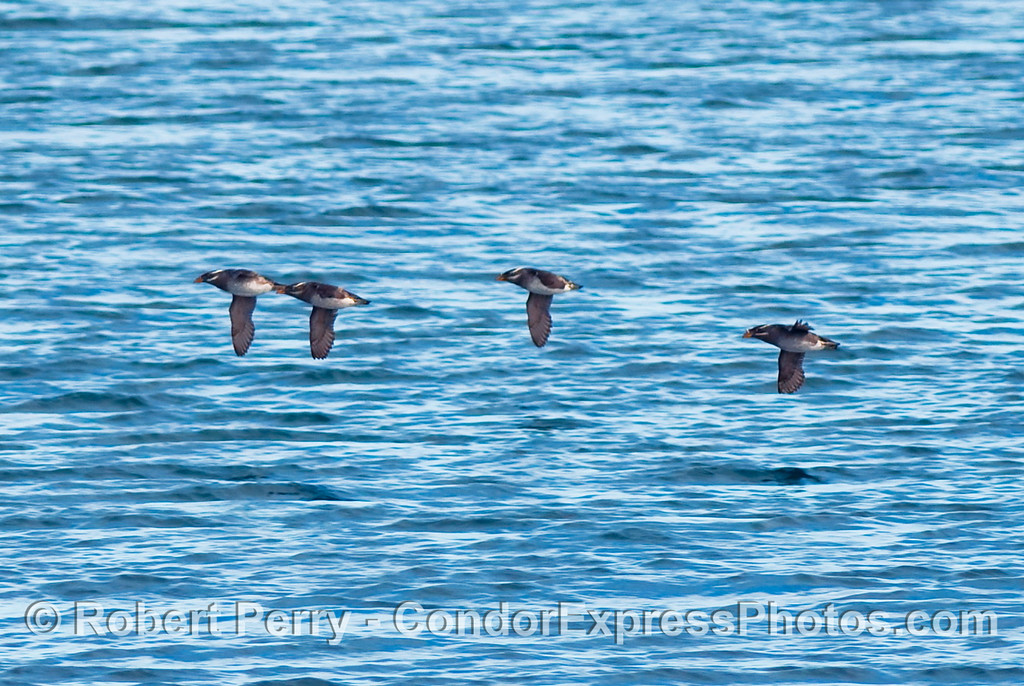 Four rhinos in a row - Rhinoceros auklets (Cerorhinca monocerata) in flight.