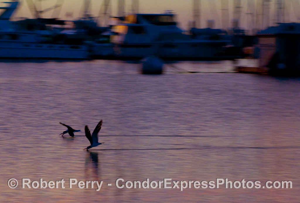 Black Skimmers (Rynchops niger) feeding inside the Harbor; Santa Barbara.