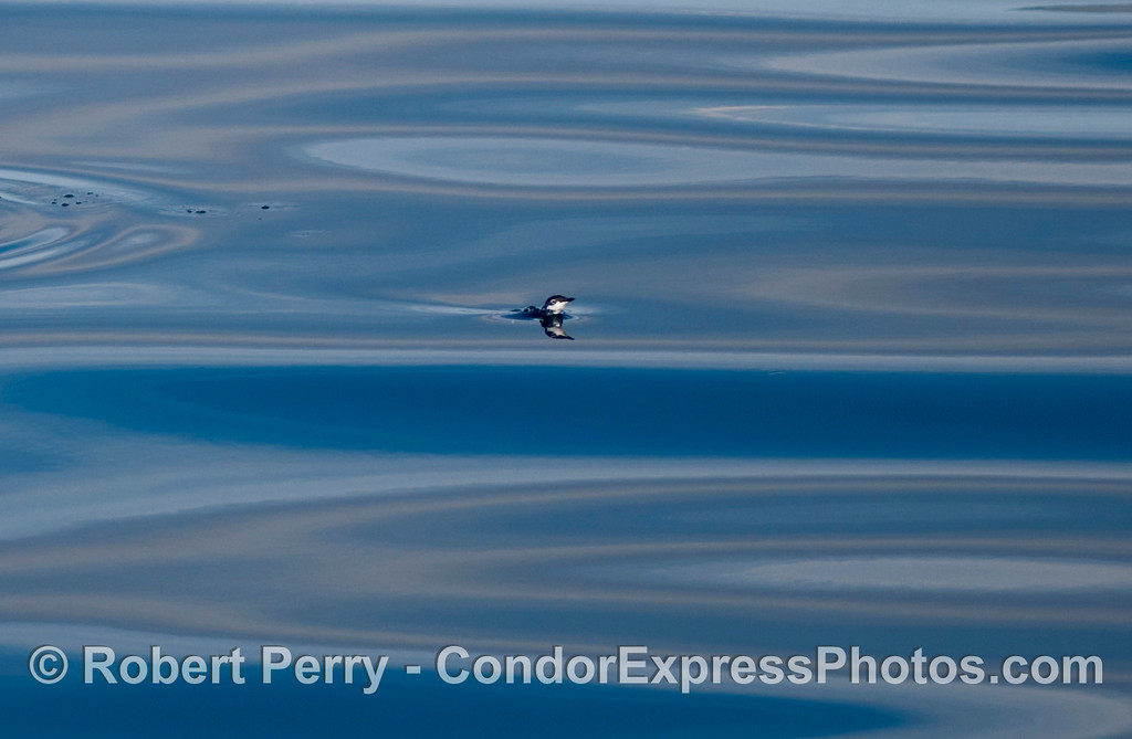 A Xantus's Murrelet (Synthliboramphus hypoleucus) pops up for air on a glassy surface.
