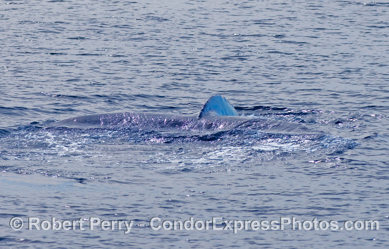 The outline of the entire tail fluke of this Humpback Whale (Megaptera novaengliae) is seen as it prepares to lift out of the water...the whale is starting a deep dive.
