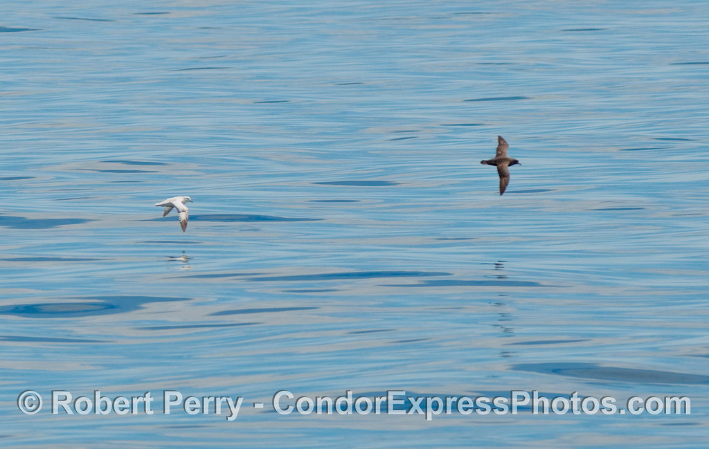 A light morph and dark morph Northern Fulmar (Fulmaris glacialis).