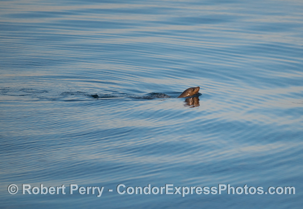 A California Sea Lion (Zalophus californianus) swims by the boat.