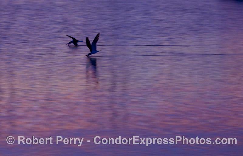 Dawn, Santa Barbara, and the Black Skimmers are out feeding (Rynchops niger).
