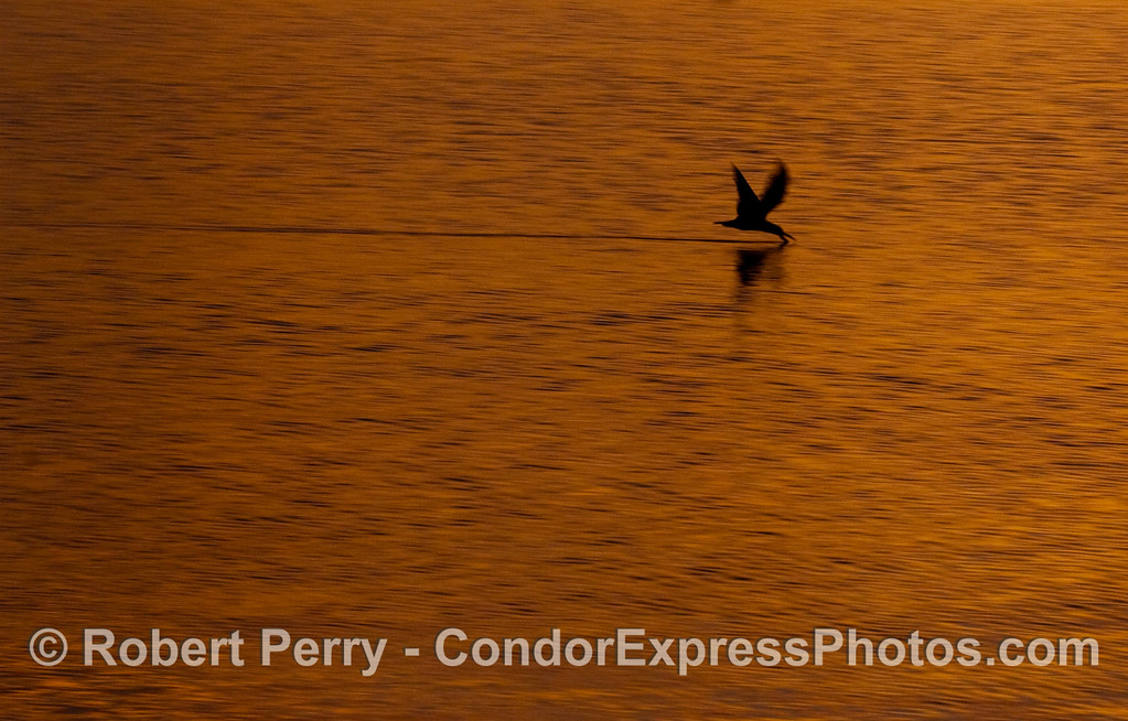 A Black Skimmer (Rynchops niger) works the surface of the ocean under golden morning light.