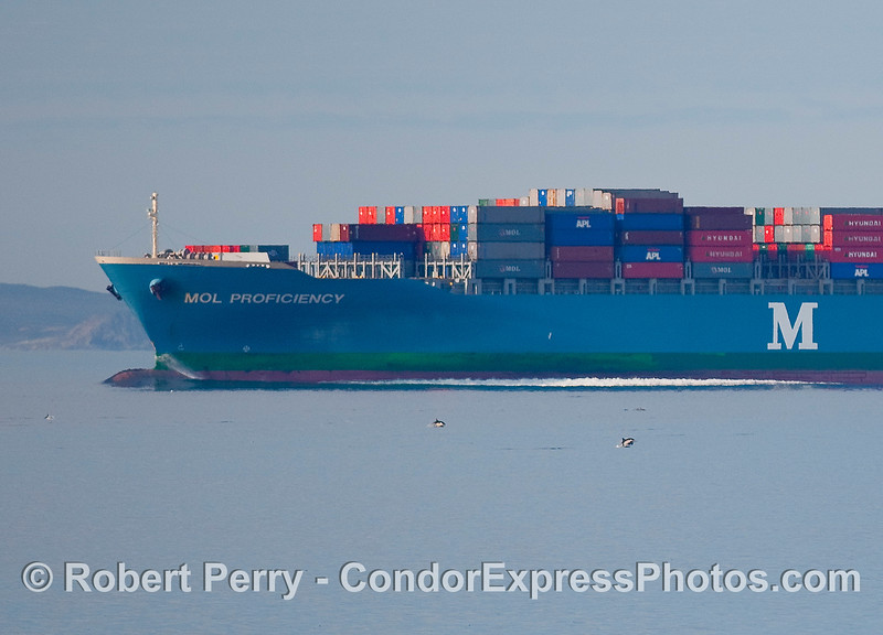Image 2 of 2;  Common dolphins (Delphinus capensis) are dwarfed by the container cargo vessel 'MOL Proficiency' moving east as it enters the southbound coastal shipping lanes at the western end of the Santa Barbara Channel.  The previous photo is the full frame showing the entire boat.