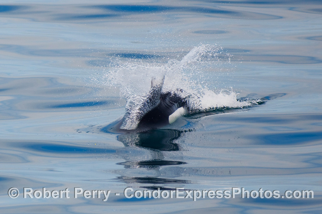 A Dall's Porpoise (Phocoenoides dalli) speeds up to visit the Condor Express.