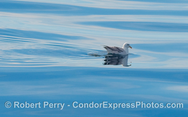 A good look at a light morph Northern Fulmar (Fulmaris glacialis), right lateral aspect.