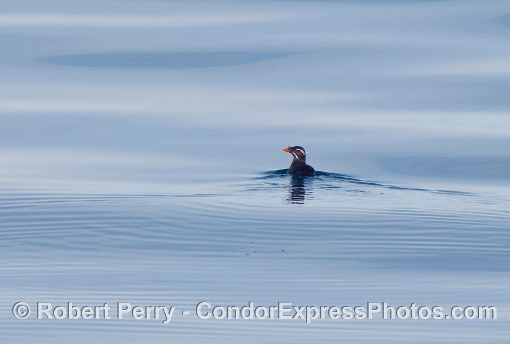 Lone Rhino.  Rhinoceros auklet (Cerorhinca monocerata) swimming on very glassy water.