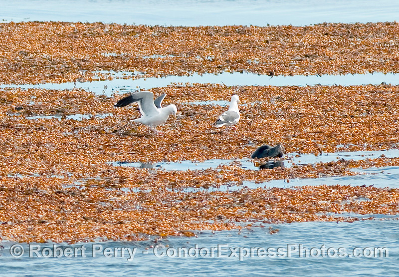 Here we see a couple of Western Gulls (Larus occidentalis) walking along the top of a drifting kelp paddy (Macrocystis pyrifera) as a male California Sea Lion pops his head up.