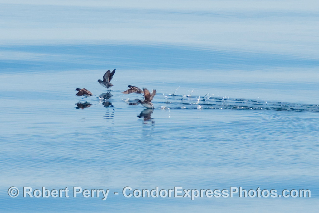 A flock of Cassin's Auklets (Ptychoramphus aleuticus) with bellies too fat to allow a quick take off.