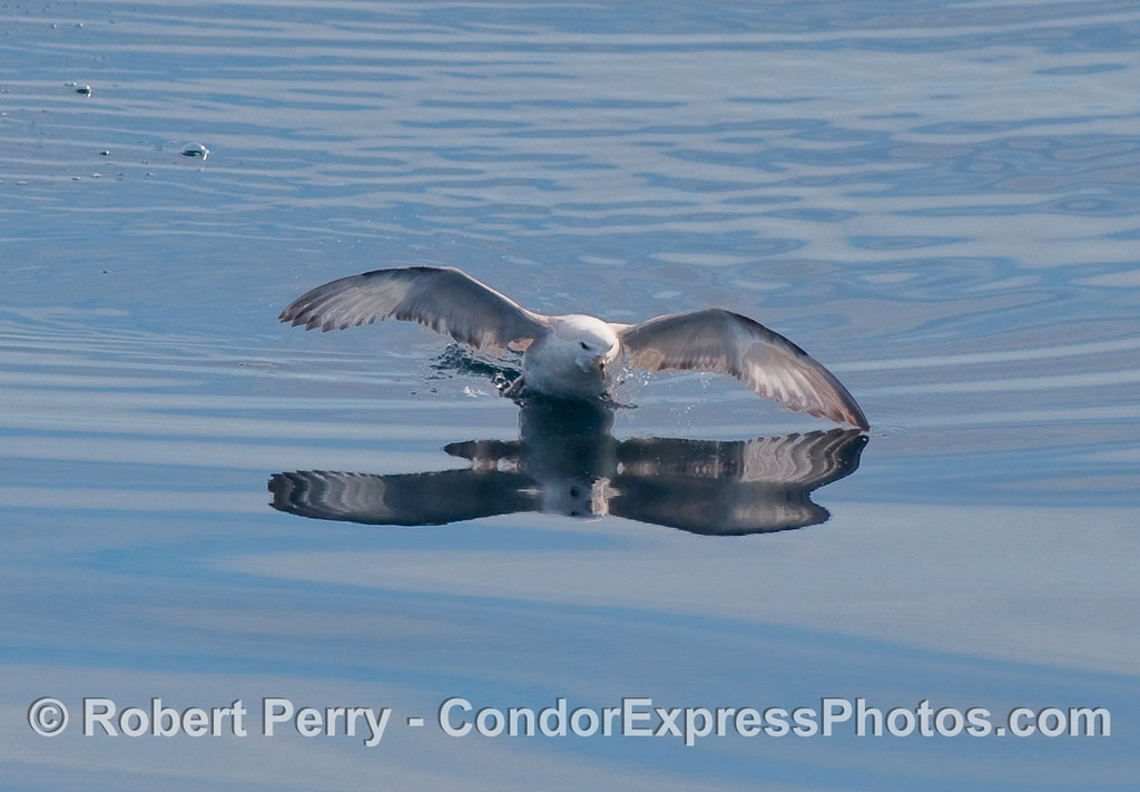 Northern Fulmar (Fulmaris glacialis) trys to take off with no wind.