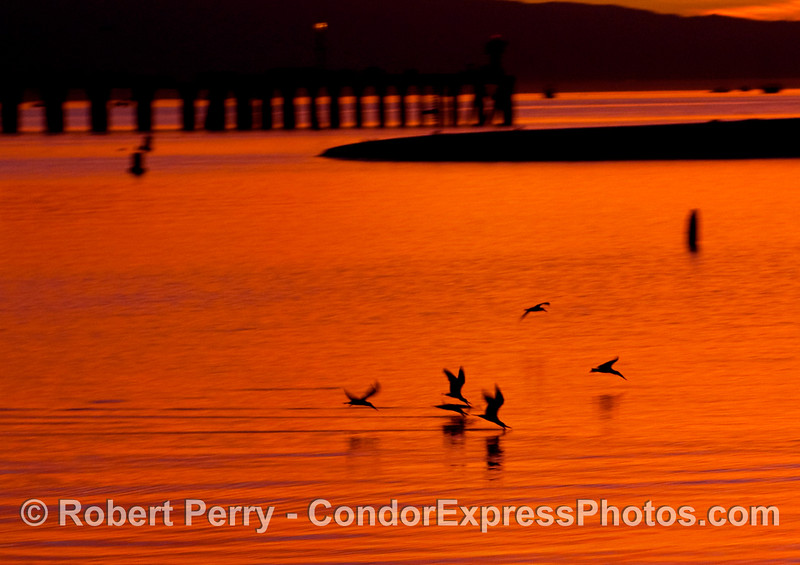 Here they come!  Black Skimmers (Rynchops niger) just before sun up; Stearn's Wharf is in the background;  Santa Barbara.