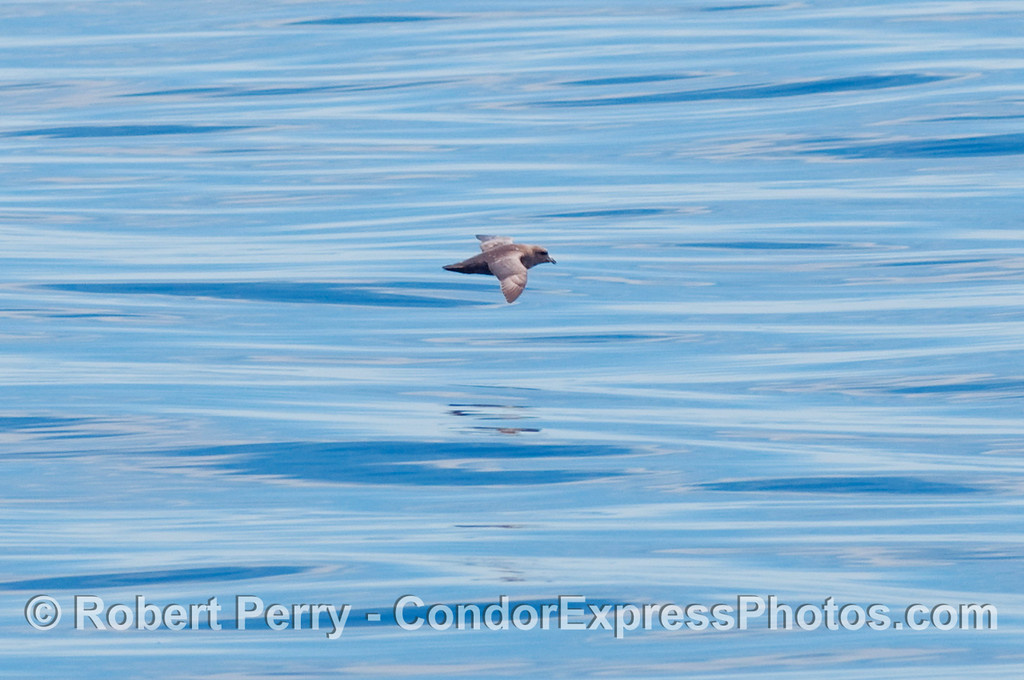 A dark morph Northern Fulmar (Fulmaris glacialis) flys by.