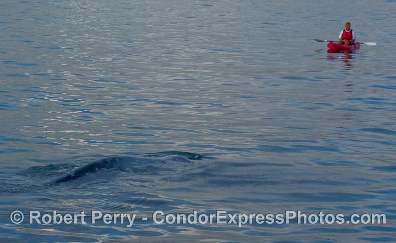 Kayaker meets Gray Whale (Eschrichtius robustus).