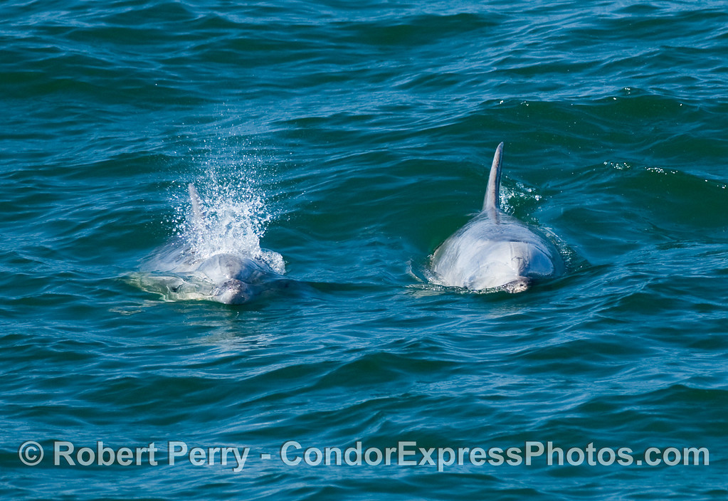 Inshore Tursiops truncatus (Bottlenose dolphins) coming directly at the Condor Express.