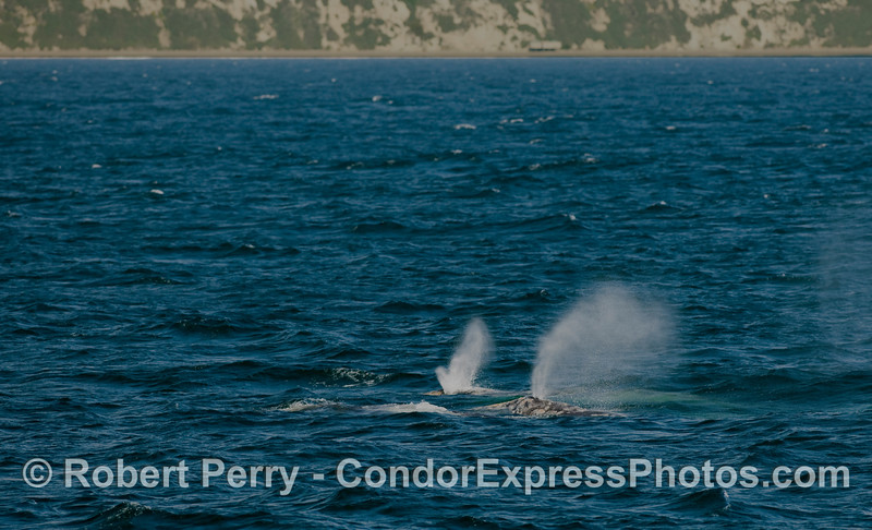 Two Gray Whales (Eschrichtius robustus) spouting - coastline west of Goleta in back.
