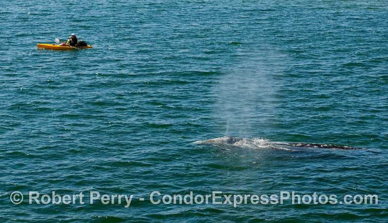 Another kayaker with Gray Whale (Eschrichtius robustus).  If you zoom this up, you'll notice the kayaker is a mom with her baby strapped on her chest.  It's never to early to start appreciating nature's wonders.