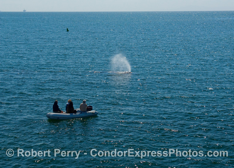 Gray Whale (Eschrichtius robustus) and inflatible boat.