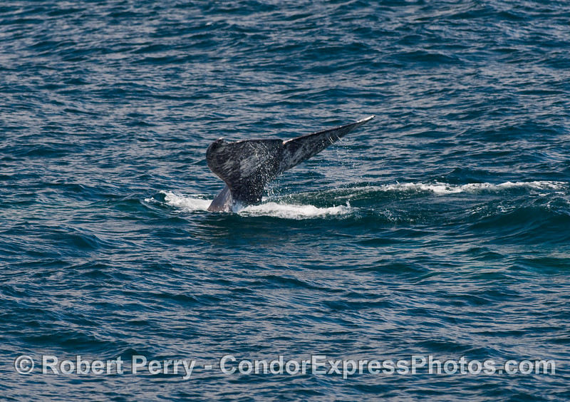 Tail fluke of a Gray Whale (Eschrichtius robustus) in a moderate west wind.